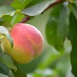 《季節の言葉:秋隣》8月8日、9日、10日は白桃の日